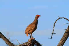 Swainson's Spurfowl. Calling from the fork of a dead tree royalty free stock photos