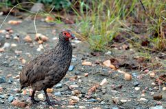 Swainson's spurfowl (Pternistes swainsonii) Royalty Free Stock Photo