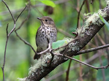 Swainson's Thrush - Catharus ustulatus. A Swainson's Thrush (Catharus ustulatus) perched on a branch Royalty Free Stock Photography