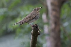 Swainson`s Thrush Catharus ustulatus. Side view of a Swainson`s Thrush perched on a branch Royalty Free Stock Image