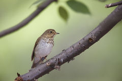 Swainson's Thrush (Catharus ustulatus swainsoni). Spring migrant sitting in a tree Stock Photo