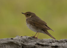 Swainson's Thrush. A drab brown bird called a Swainson's Thrush momentarily perches on a log while foraging in a south Florida woodland Royalty Free Stock Photos