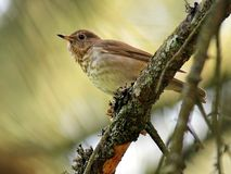 Swainson's Thrush in the Forest Royalty Free Stock Photo