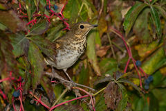 Swainson's Thrush. Perched in a berry bush Stock Images