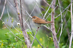 Swainson's thrush. Perched on a branch Stock Image