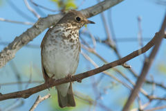 Swainson's Thrush. Perched on a branch Stock Photography