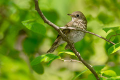 Swainson's Thrush. Perched on a branch Royalty Free Stock Photo