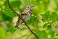 Swainson's Thrush. Perched on a branch Stock Images
