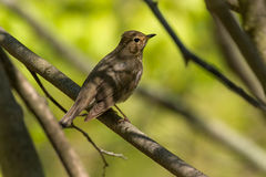Swainson`s Thrush. Perched on a branch Royalty Free Stock Images