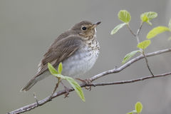Swainson's Thrush Perched in a Shrub Stock Photography