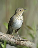 Swainson's Thrush Perched in a Tree - Ontario, Canada Stock Image
