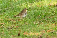 Swainson`s Thrush. Standing in the shade covered grass looking for something to eat.Ashbridges Bay Park, Toronto, Ontario, Canada Stock Images