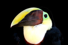 Swainson's Toucan Stock Photography