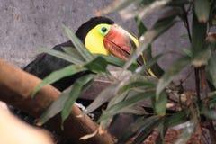Swainson toucan Stock Photo