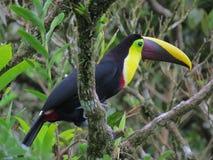 Swainsonii du ¡ n de Swainson-Ramphastos de toucan-Tucà de Mandibled de châtaigne Photographie stock libre de droits