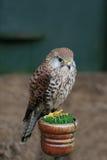 Swainsons Falke auf einem Pfosten Lizenzfreies Stockfoto