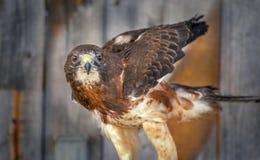 Swainsons-Falke vor hölzernem Hintergrund Lizenzfreie Stockfotos