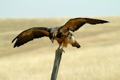 Swainsons Hawk Royalty Free Stock Images