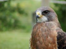 Swainsons Hawk  Stock Photography