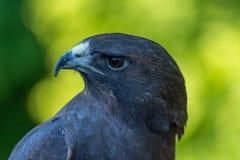 Swainsons Hawk Profile Stockfotos