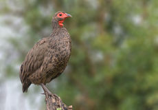 Swainsons Spurfowl on branch in Kruger Royalty Free Stock Photography