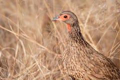 Swainsons Spurfowl (Pternistis-swainsonii) Lizenzfreies Stockbild