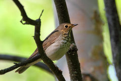 Swainsons Thrush Royalty Free Stock Photography