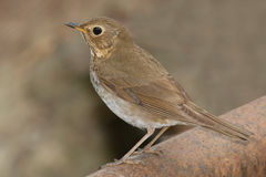 Swainsons Thrush Royalty Free Stock Photos