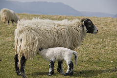 Swaledale Ewe and lamb. Royalty Free Stock Image