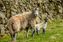 Swaledale ewe with lamb in Springtime stock images