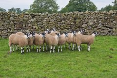 Swaledale Sheep. Photo of a small flock of pedigree sheep from North Lancashire, England Stock Image