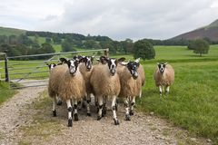 Swaledale Sheep. Photo of a small flock of pedigree Swaledale sheep walking toward the viewer. The scene is situated in an attractive rural setting in the UK Royalty Free Stock Photography