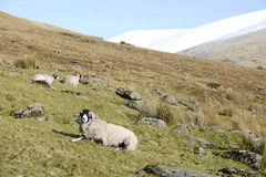 Swaledale sheep. Sheep on the fells of the Lake District Stock Photography