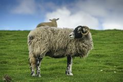 Swaledale Sheep. Female adult sheep, a Swaledale Ewe, looking back over its shoulder. This is a horned hardy breed native to the Yorkshire Dales, UK. a hill royalty free stock photo