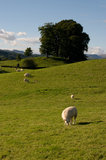 Swaledale sheep in grassy landscape Royalty Free Stock Photography