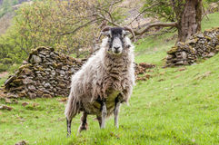 A swaledale sheep in the Lake District. A swaledale sheep is standing on a slope before a drystone wall in the English Lake District. The ewe is interested and royalty free stock photo
