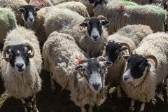 Swaledale sheep - Yorkshire Dales - England Royalty Free Stock Images