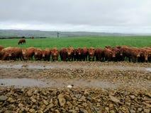 Swalesmoor krowy steruje ciebie obrazy royalty free
