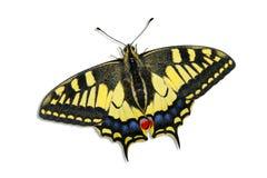 swallotail de papilionidae de papilio de machaon Image stock