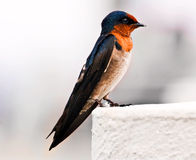 Swallow. Have been photographed on island Tioman. Malaysia Stock Images