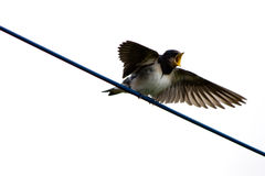 Swallow Stock Image