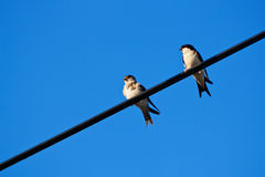 Swallow Royalty Free Stock Photography
