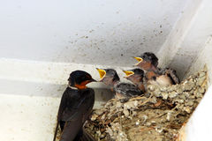 Swallows. In the nest royalty free stock photography