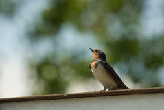 Swallow Royalty Free Stock Images