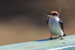 Swallow. With nesting material in Kruger Park Stock Photo