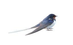 swallow Immagini Stock Libere da Diritti
