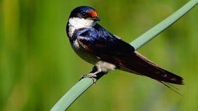 swallow Fotografia Stock
