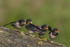 swallow Fotografie Stock Libere da Diritti