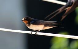 swallow Immagini Stock