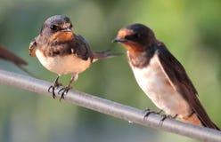 swallow Fotografia Stock Libera da Diritti